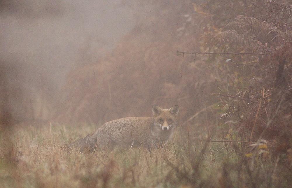 renard drapé de brume